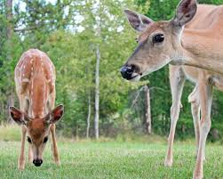 3 reasons why your yard attracts deer and what to do about it