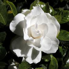 Plants That Repel Aphids by Gardenia Pests Common Insect Problems With Gardenias