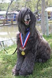 afghan hound adoption information afghan hound rescue