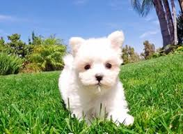 puppies for sale maltese puppies for sale in california maltese pups for sale in