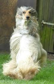 afghan hound lifespan afghan hound afghan hound afghan hound pinterest child