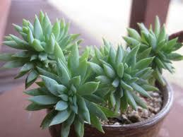 succulent facts sedeveria u0027fanfare u0027 world of succulents