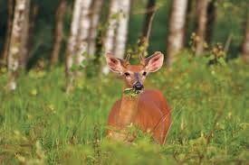mississippi native plants oh deer whitetails and minnesota u0027s future forests friends of