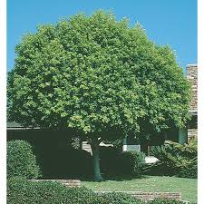 shop 3 25 gallon indian laurel tree feature tree l14192 at lowes