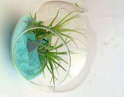 air plant shark attack hanging or table top garden terrarium