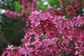 prairiefire flowering crabapple malus prairiefire in wilmette