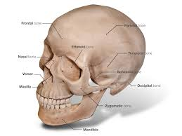 3d skull anatomy image collections learn human anatomy image