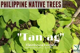 planting native trees the return of philippine native trees u2013 both public and private