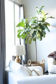 tall indoor plants 12 best plants that can grow indoors without