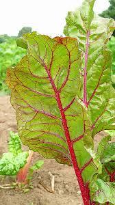 cuisiner les bettes cuisiner des bettes inspirational feuilles de blettes en béchamel