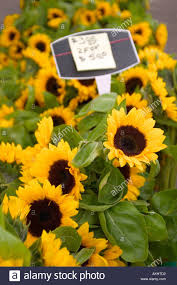 sunflowers for sale sunflowers for sale at a local farmers market stock photo 4900049