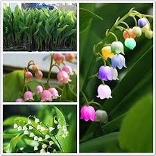 of the valley flower of the valley flower seeds bell orchid seeds
