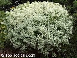 Shrub Small White Flowers - euphorbia leucocephala pascuita snows of kilimanjaro white