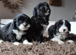 bearded collie and border collie mix bearded collie cross puppies for sale lydney gloucestershire