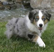 south texas australian shepherd rescue australian shepherd dog breed pictures 3