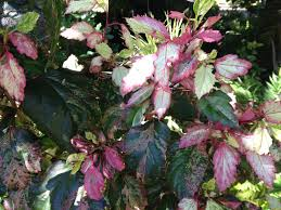 Braided Hibiscus Tree Pictures by Hibiscus Product Categories Dawsons Garden World