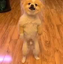 summer haircut pomeranian pomeranian only walked on back paws for two days to protest new
