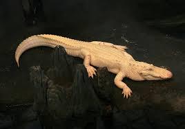 albinism in biology wikipedia