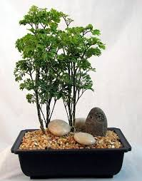 this is a ming bonsai tree but perhaps i could try it with