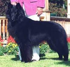 belgian sheepdog breeders in ohio size proportion substance belgian sheepdog club of america