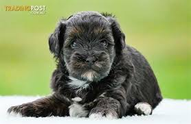 shi poo shih poo poodle x shih tzu puppies for sale in hoppers crossing