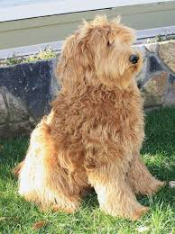 doodle doo labradoodles 420 best al gd images on beautiful board and building