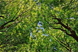 looking up from the ground into the maple trees stock photo