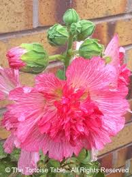 Hollyhock Flowers Browse And Search The Tortoise Table Plant Database