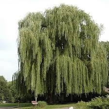 niobe weeping willow tree