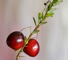 shepherdia argentea silver buffaloberry california list of uncommon cold hardy fruit trees gardening zones 3 7 30