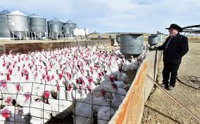 as thanksgiving approaches hutterite colonies are bringing their