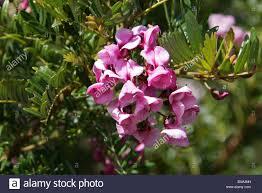 tree in a hurry cape lilac blossom tree pink keurboom virgilia