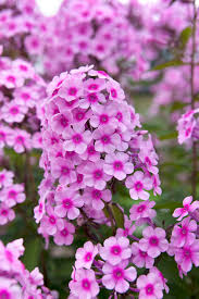 phlox flower rhs advice tips on garden indoor plants plant finder