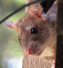 how to get rid of rats and keep them from coming back