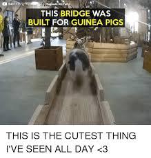 Shaved Guinea Pig Meme - 25 best memes about guinea pig guinea pig memes