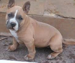 american pitbull terrier natural ears american bully dog breed information and pictures
