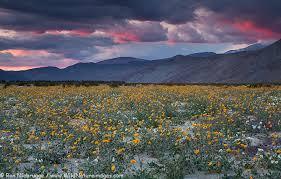 anza borrego wildflowers borrego desert wildflowers photo blog niebrugge images