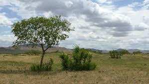 beautiful acacia trees grown on the stock