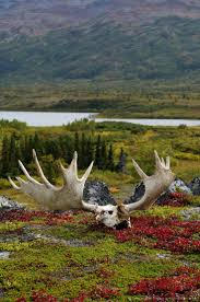 best 25 moose antlers ideas on pinterest moose wild bull and
