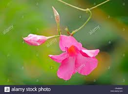 native brazilian plants dipladenia stock photos u0026 dipladenia stock images alamy