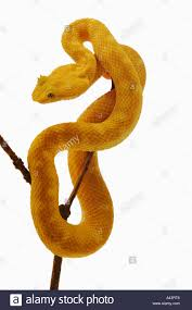 eyelash viper bothriechis schlegelii arboreal snake equipped with