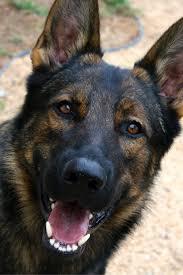 belgian sheepdog breeders ontario 1035 best images about huskies shepherds teruvians collies and