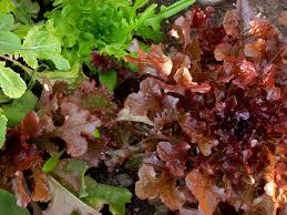growing lettuce in texas youtube