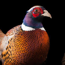 common pheasant national geographic