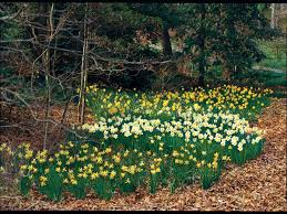 daffodils how to plant u0027em like mother nature southern living