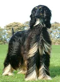 afghan hound racing uk colours the breed the afghan hound association