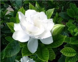 gardenia flower 50pcs bag arabian gardenia flower seeds white and