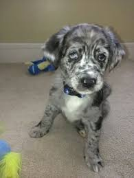 australian shepherd catahoula mix catahoula australian shepherd mix so cute i can u0027t stand it