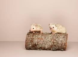 should i get a friend for my hedgehog