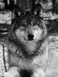 beautiful wolf black white wolves wolf